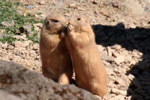 Help Us Rescue the Colorado Prairie Dogs!