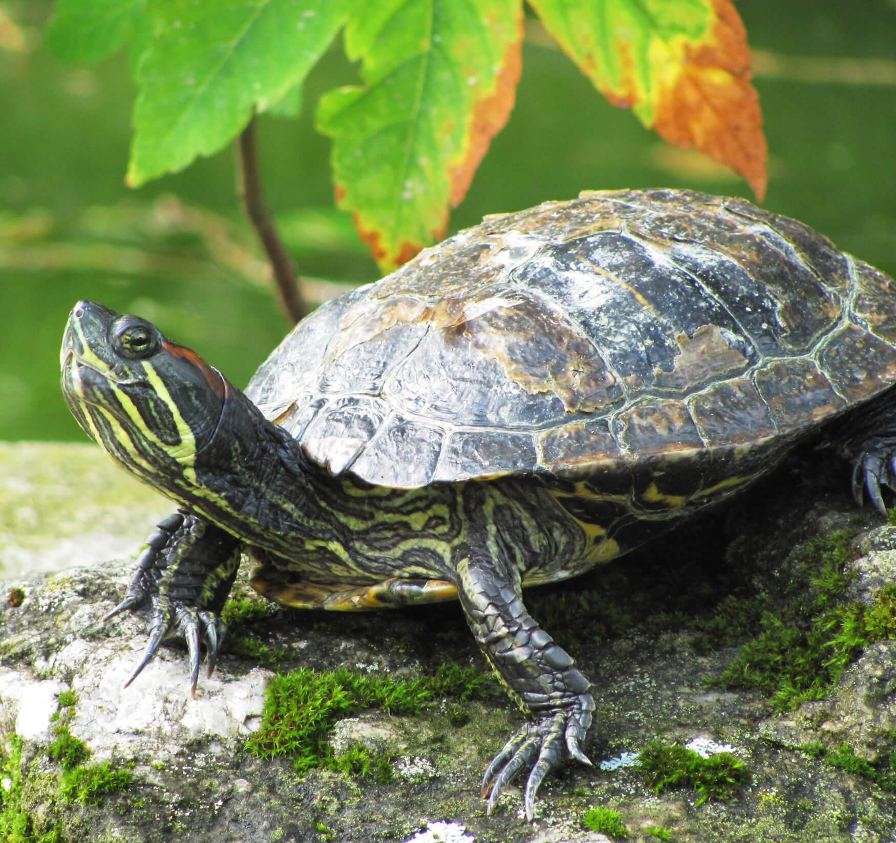 Сколько живут черепахи в домашних 95