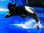 No Thanks, SeaWorld. Bigger Tanks Won't Cut It for Orcas.