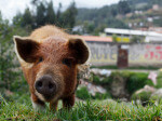 Pig Farmer Decides to Quit Killing Animals and Grow Veggies Instead
