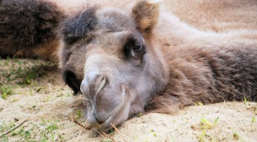 Hump Day Blues? Brighten Your Wednesday with Cute Camels