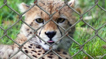 Animal Refuges Are a Better Choice Than Zoos