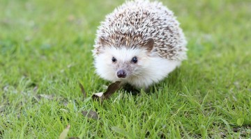 Hedgehog Revival in Britain