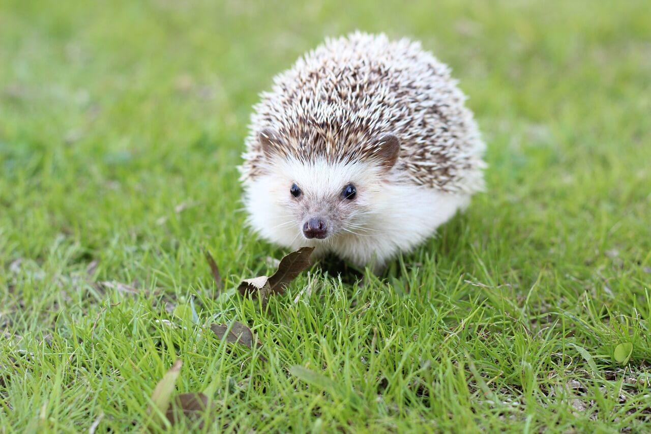 Hedgehog Revival in Britain - Vegaprocity