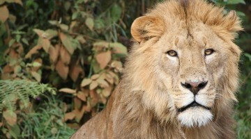 Cecil the Lion: The Carnivores Who Cry Foul