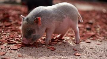 Bacon: America's Love Affair