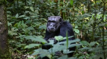 ChaCha the Chimp Escapes Japanese Zoo, Then Captured