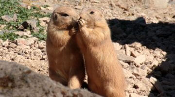 Help Us Rescue the Colorado Prairie Dogs!